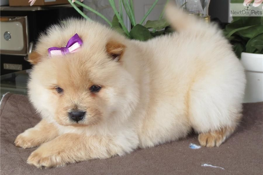 Chow puppy cute
