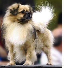 Tibetan Spaniel Tibetan Spaniel Unusual Dog Breeds Spaniel Breeds