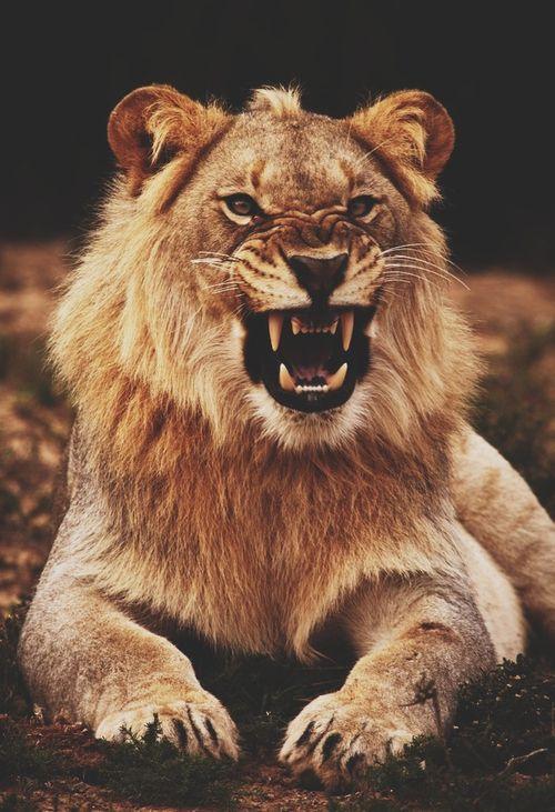 Disimba — Designspiration - lion