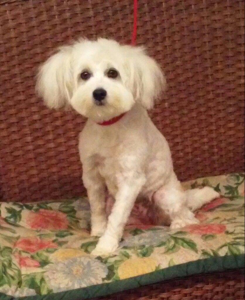 Maltipoo Dog For Adoption In Tulsa Ok Adn 811586 On Puppyfinder Com Gender Female Age Baby Maltipoo Dog Dog Adoption Maltipoo