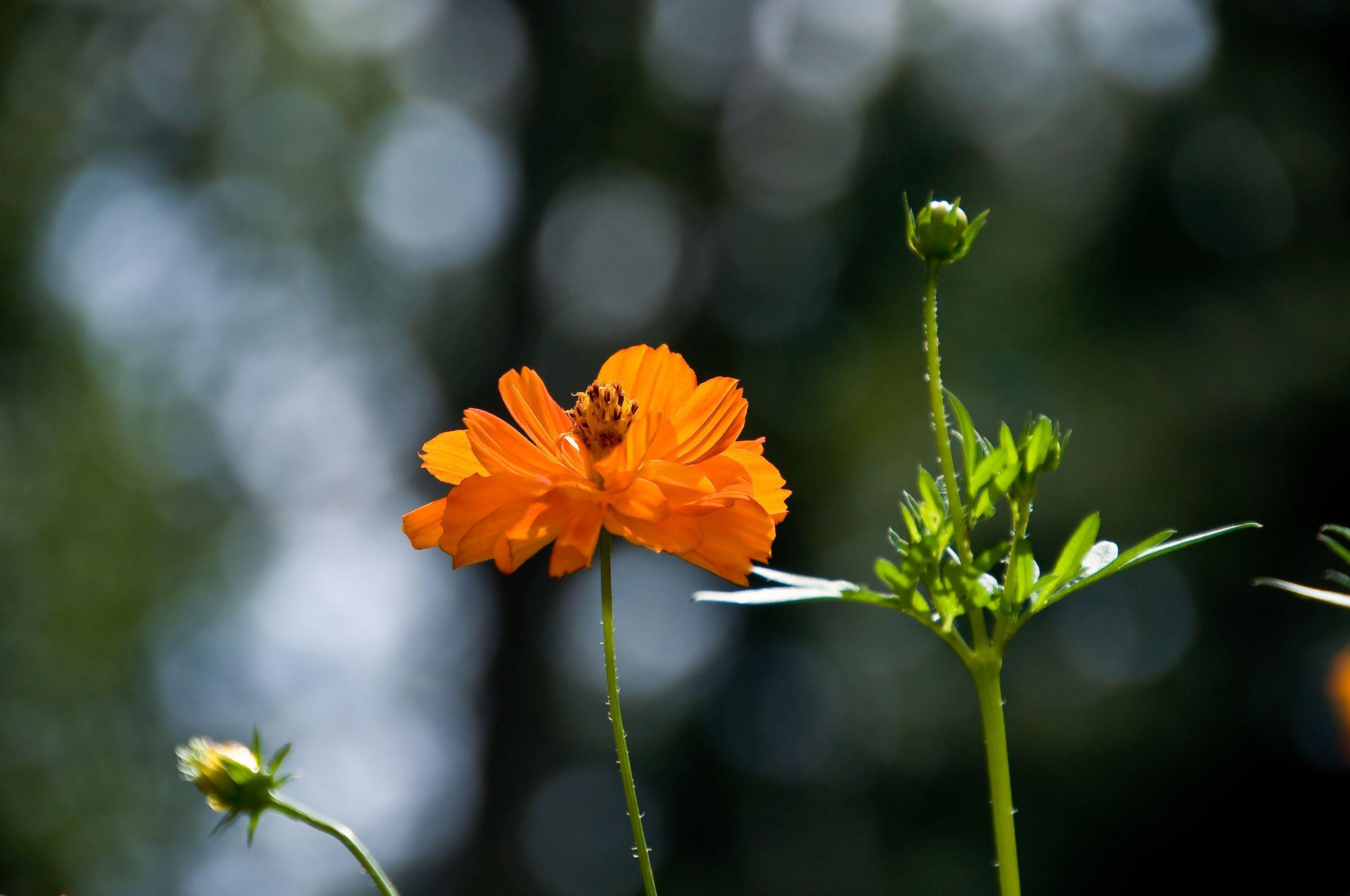 Resultado de imagem para cosmo flower