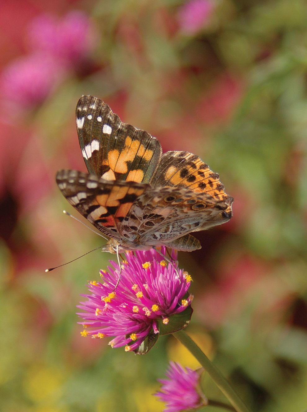 How to Attract Butterflies into your Garden | Attract ...