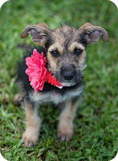 Glastonbury Ct Schnauzer Miniature Chihuahua Mix Meet