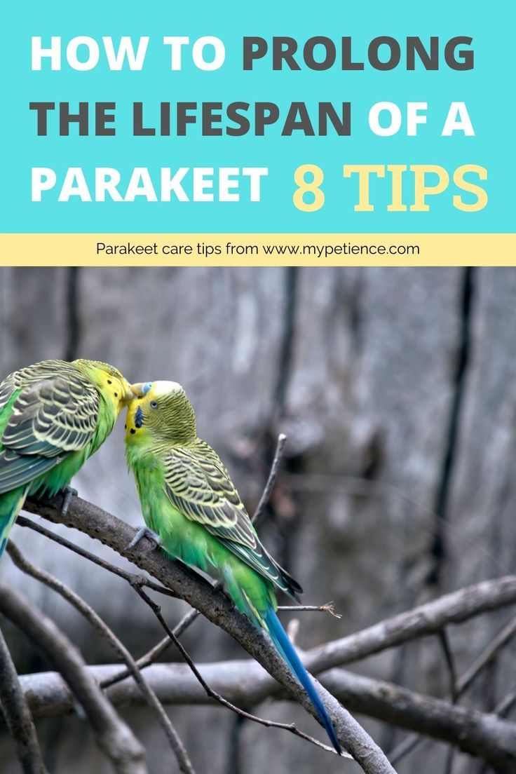 How Long Do Parakeets Live In The Wild And Captivity In 2020 Parakeet Care Parakeet Parrot Pet