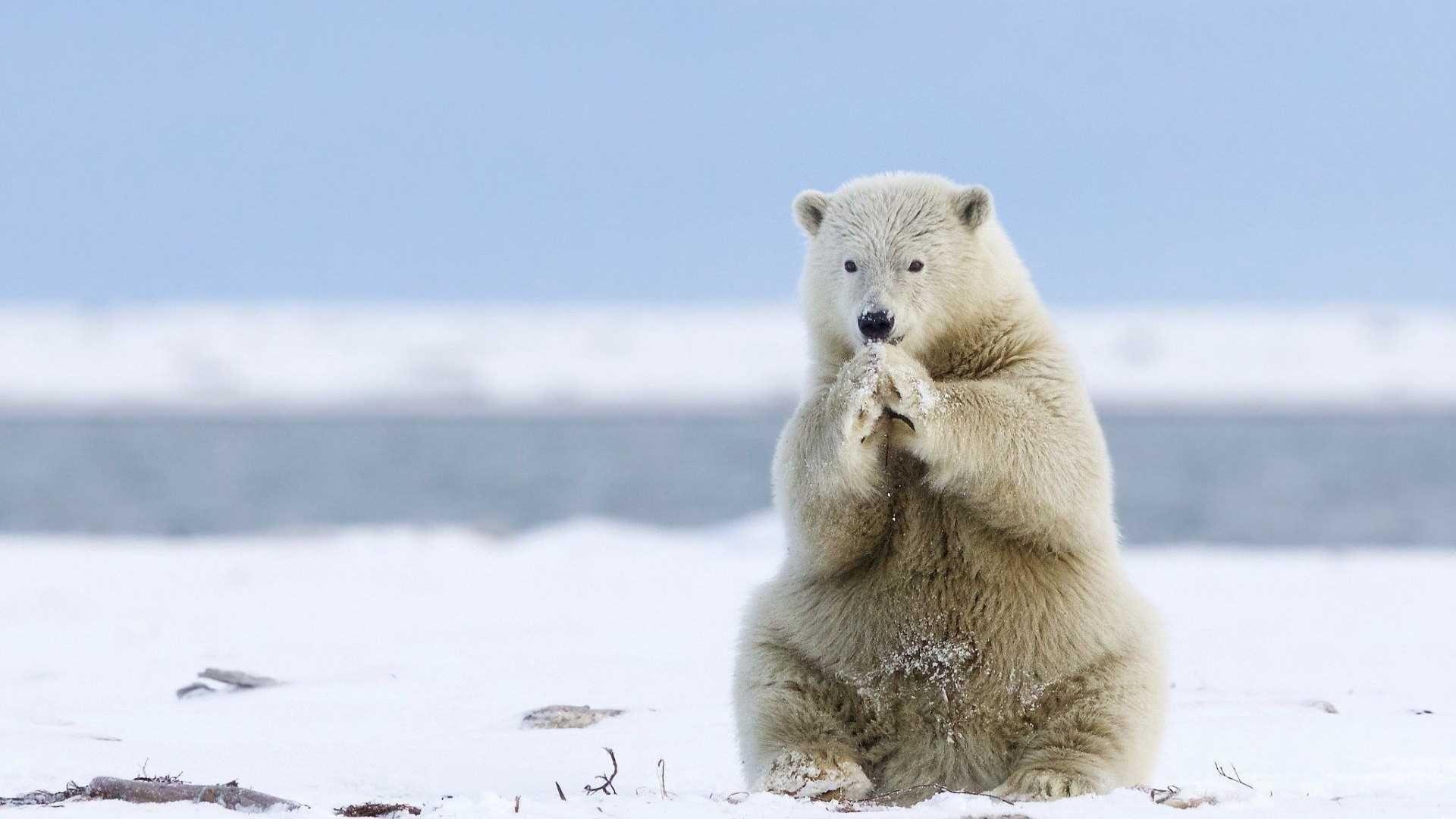 polar bear wallpaper high quality | animals wallpapers | pinterest