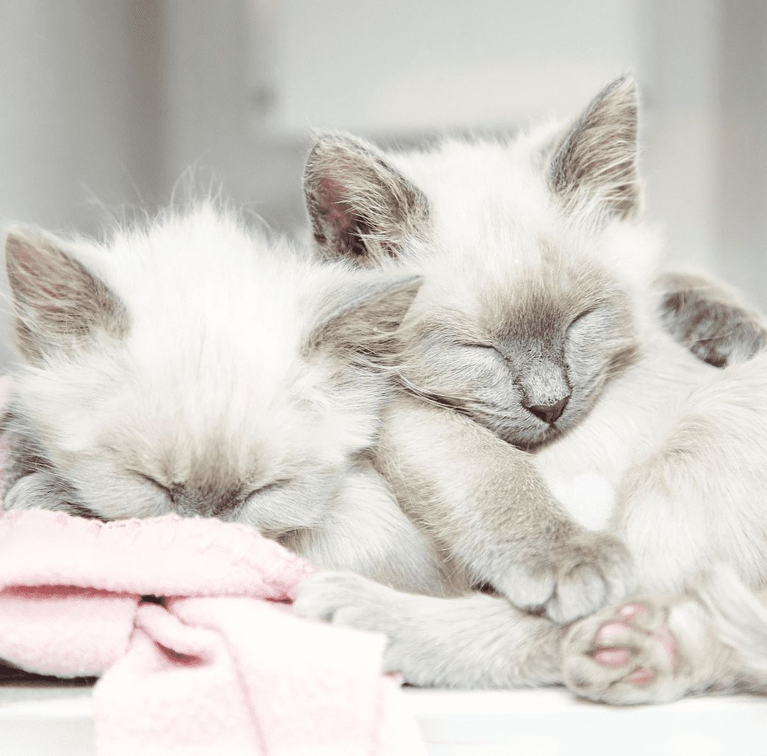 Did You Know That Cats Purr For More Than One Reason Of Course They Purr When They Re Happy But They Also Do It As A Form Of Self He Cat Love Kittens