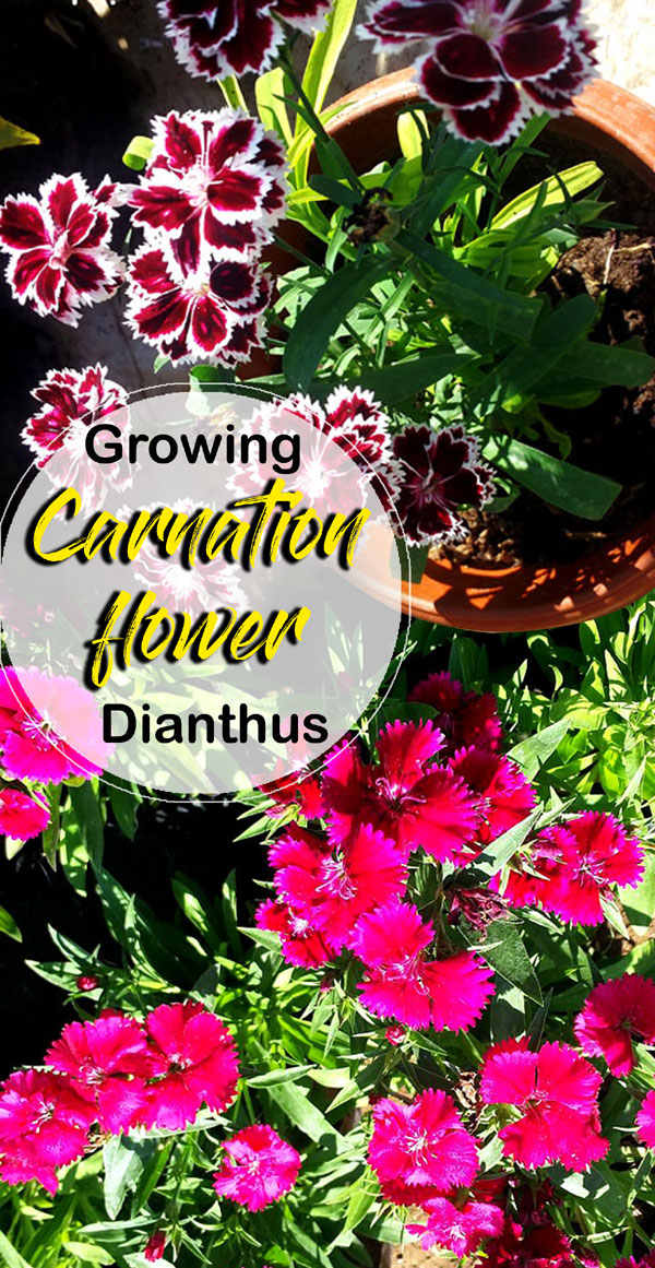 how to take care of carnations plants
