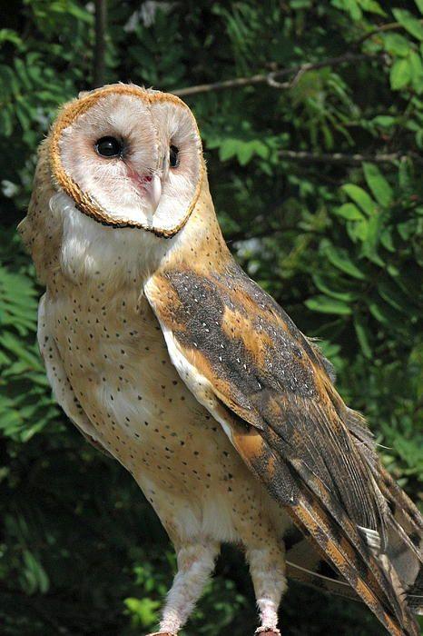 Barn Owl by Frank Townsley