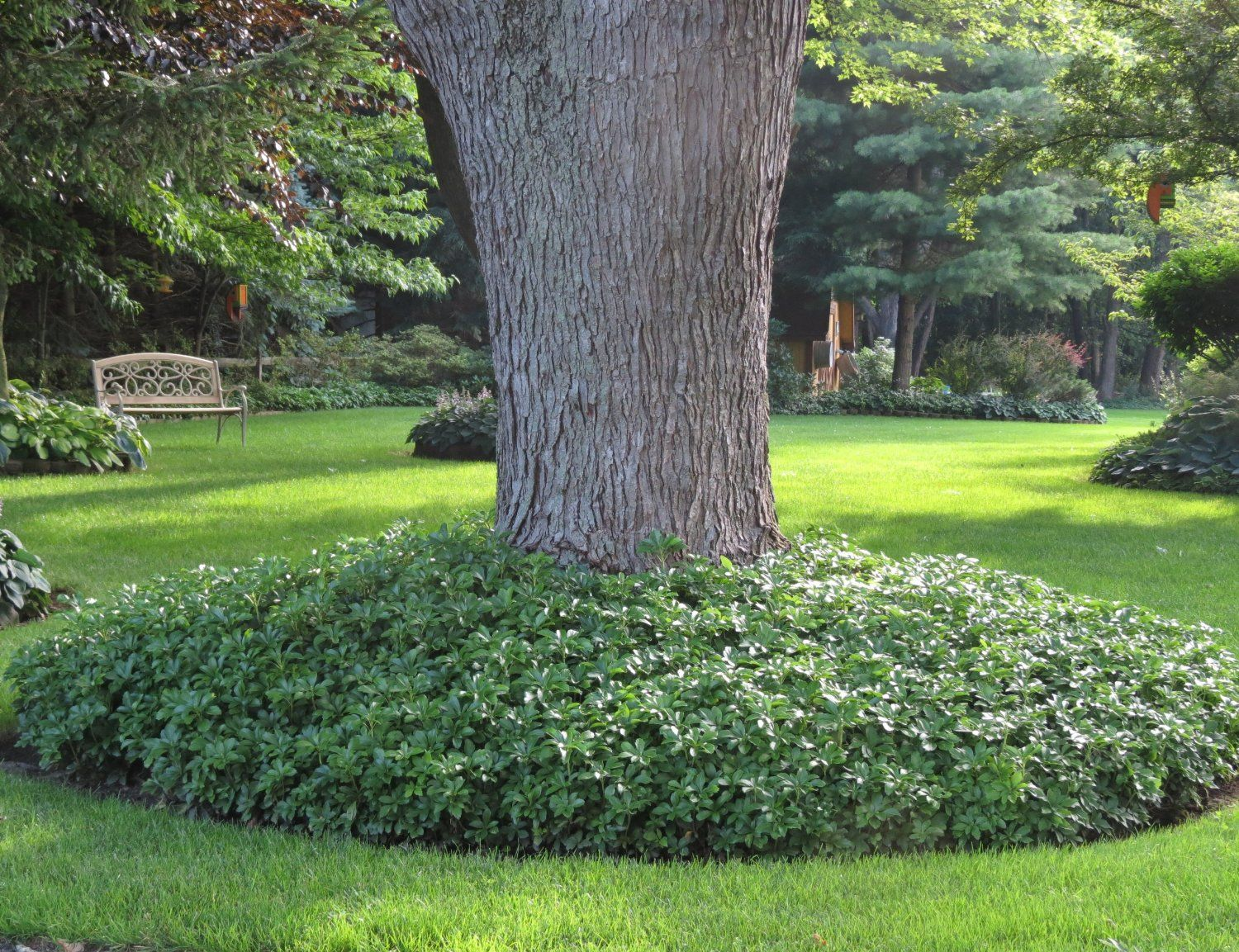 Pachysandra terminalis japanese spurge for Garden design amazon