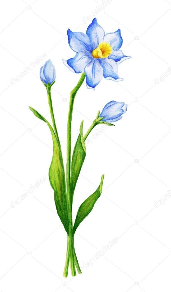 Watercolor narcissus flower | Daffodil flower tattoos ...