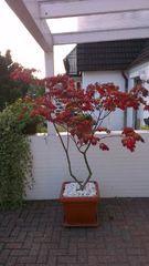 Japanischer Ahorn 2 Blumen 6 Streucher Pinterest Japanischer