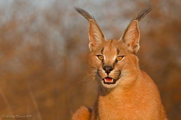 Karakal Desert Cat - Super Cat