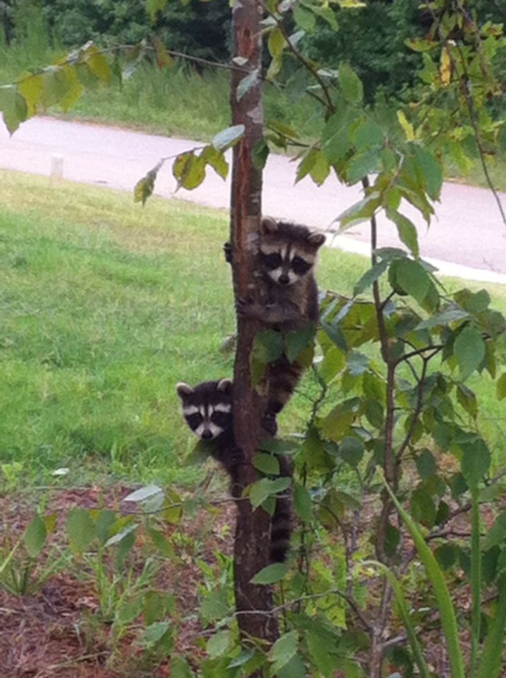 Twin young raccoons- so adorable!!!