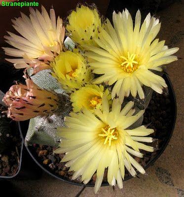 Cactus Astrophytum Myriostigma Lemaire 1839 Piante Grasse