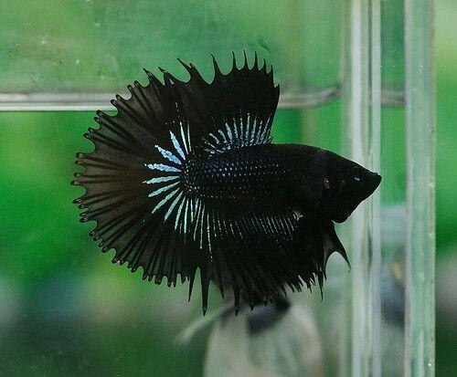 808 Super Black Half Sun Half Moon Crown Tail Male Betta Betta Fish Siamese Fighting Fish
