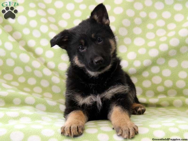 Ivan German Shepherd Puppy For Sale From Paradise Pa German