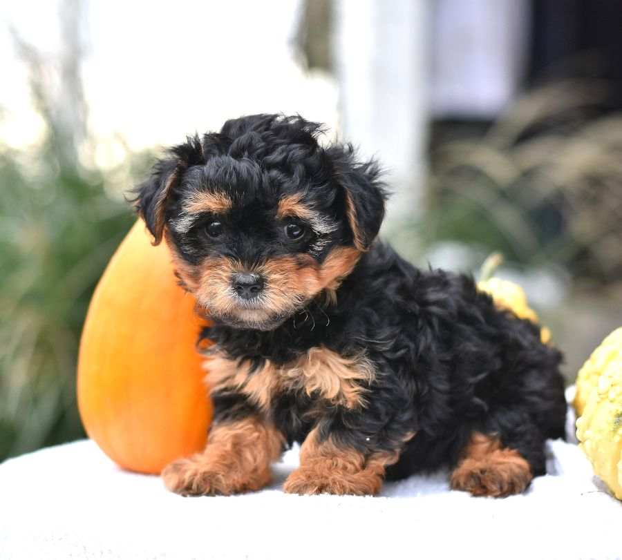 Ready For A Snugglebug Meet Tammy She Is Sure To Enjoy Snuggling Under A Blanket While Watching A Movie Tammy I Yorkie Poo Puppies For Sale Puppies