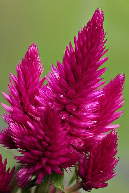 Celosia Flower 2 Celosia Flower Amazing Flowers Trees To Plant