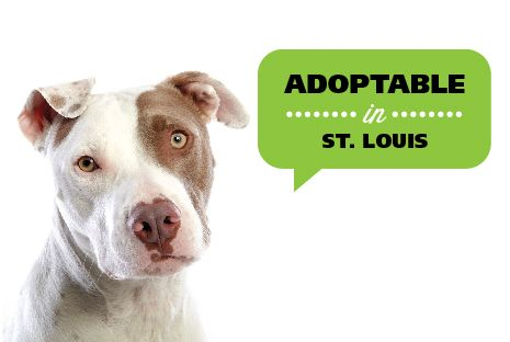 Adoptable Dogs St Louis Adoptable Dogs Dogs Adoption Animals