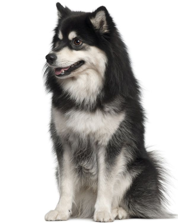 finse lappenhond - google zoeken | puppies | dog breeds, dogs