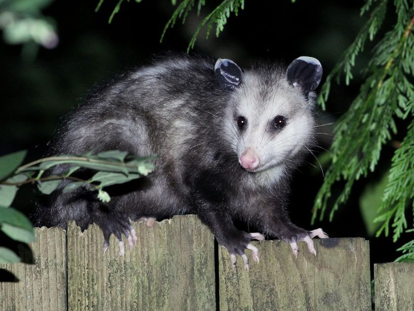 17 Photos Of Animals Enjoying The Nightlife Animals Animal Photo Opossum