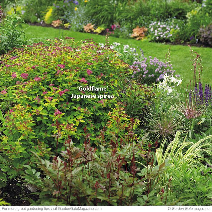 Pruning Spirea Growing Flowers And Foliage Pruning