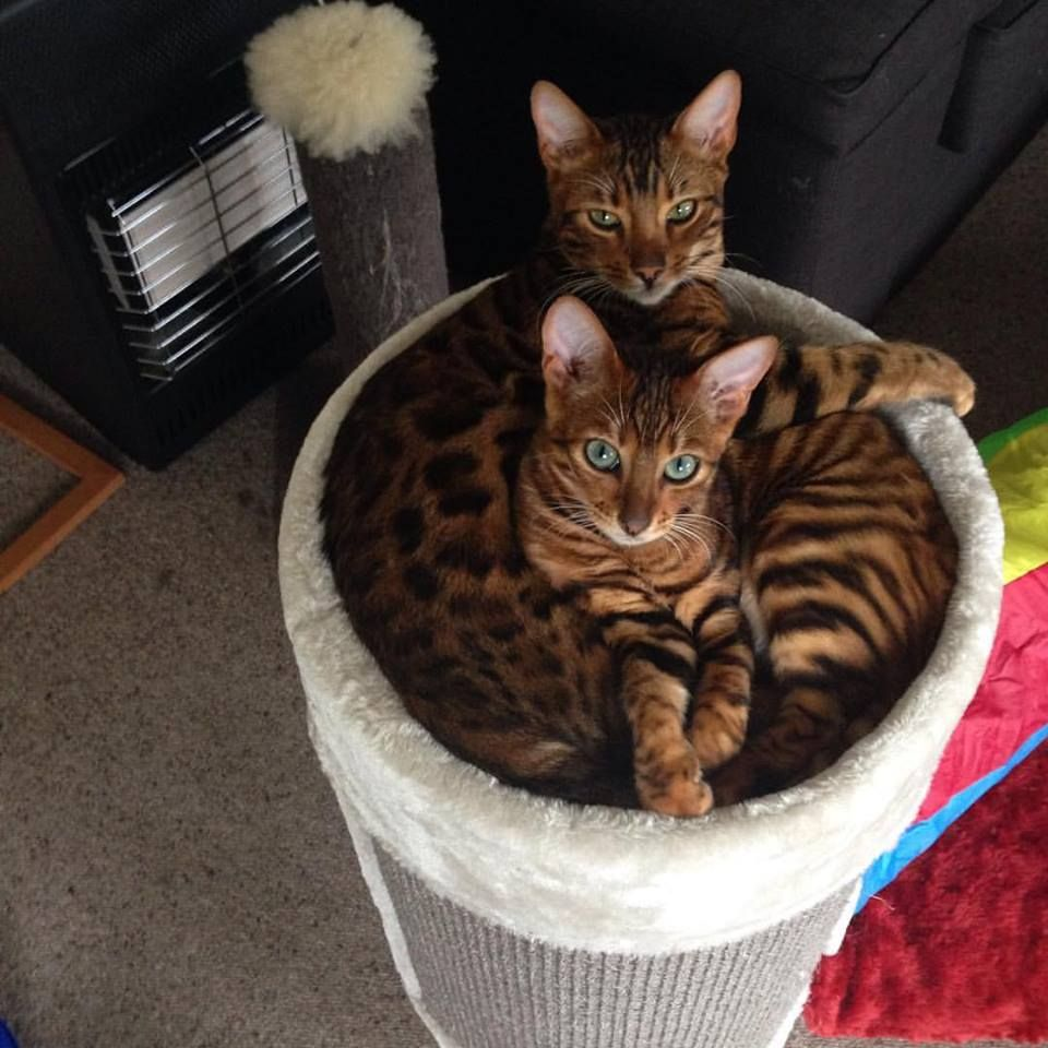 Stripy and Spotty the $4000 kitty combo aka some of my friends have way too much money.