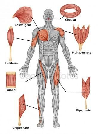 Anatomy of male muscular system - posterior view of type muscle ...