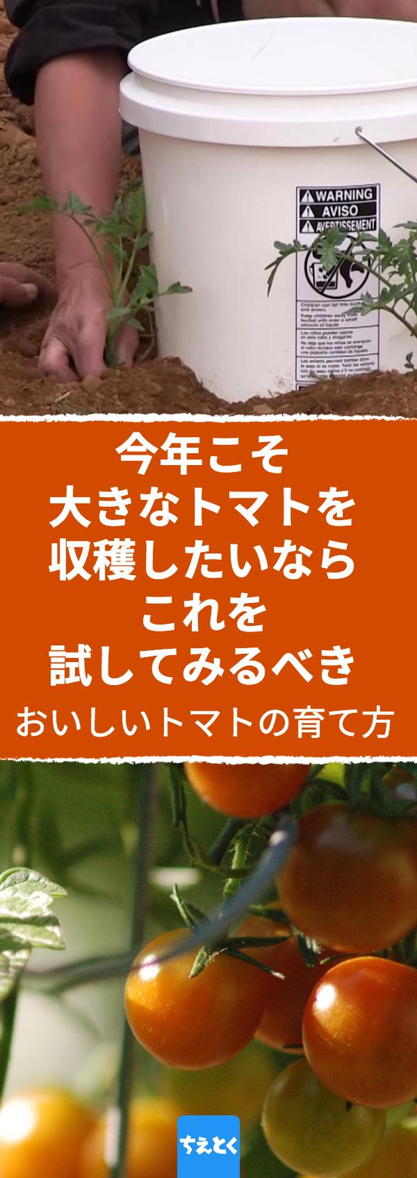 味が濃厚で果肉がみっちり詰まったおいしいトマトの育て方のコツ