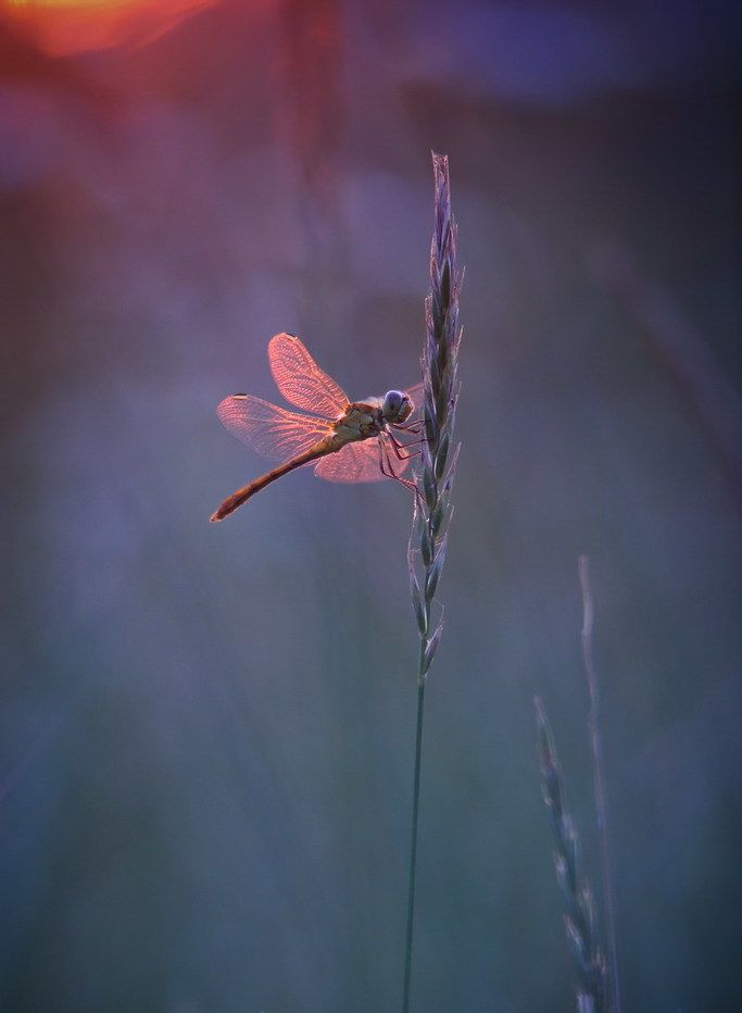 Phone Wallpapers Dragonfly Wallpaper Nature Tour Phone Wallp
