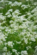 Cow parsley fields