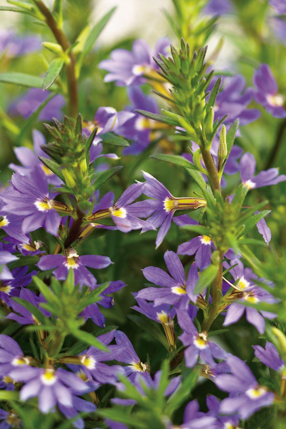Whirlwind™ Blue Fan Flower Scaevola hybrid Flower
