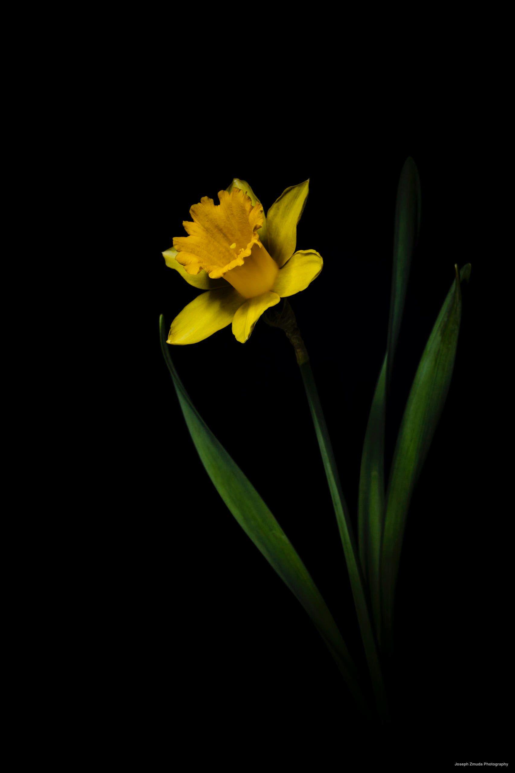 Daffodil Flowers Plants Photography Photographers Macro Macrophotography Macrophotograph Fl In 2020 Daffodil Photography Macro Photography Flowers Daffodils
