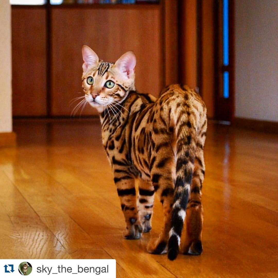 Instagram Photo By Bengal Cats Jan 23 2016 At 7 33pm Utc Bengal Cat Tabby Cat Cats