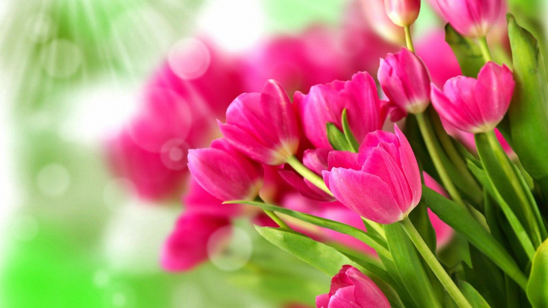 beautiful pretty pink tulips hd wallpapers