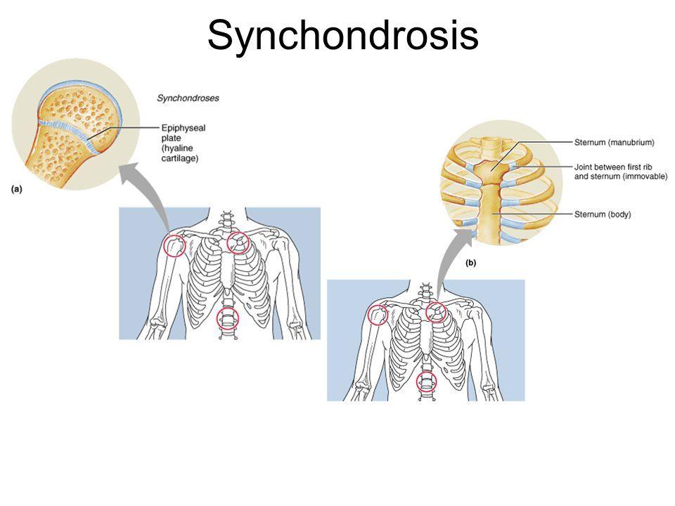 Sincondrosis – Que es, definición, anatomía | Anatomia | Pinterest