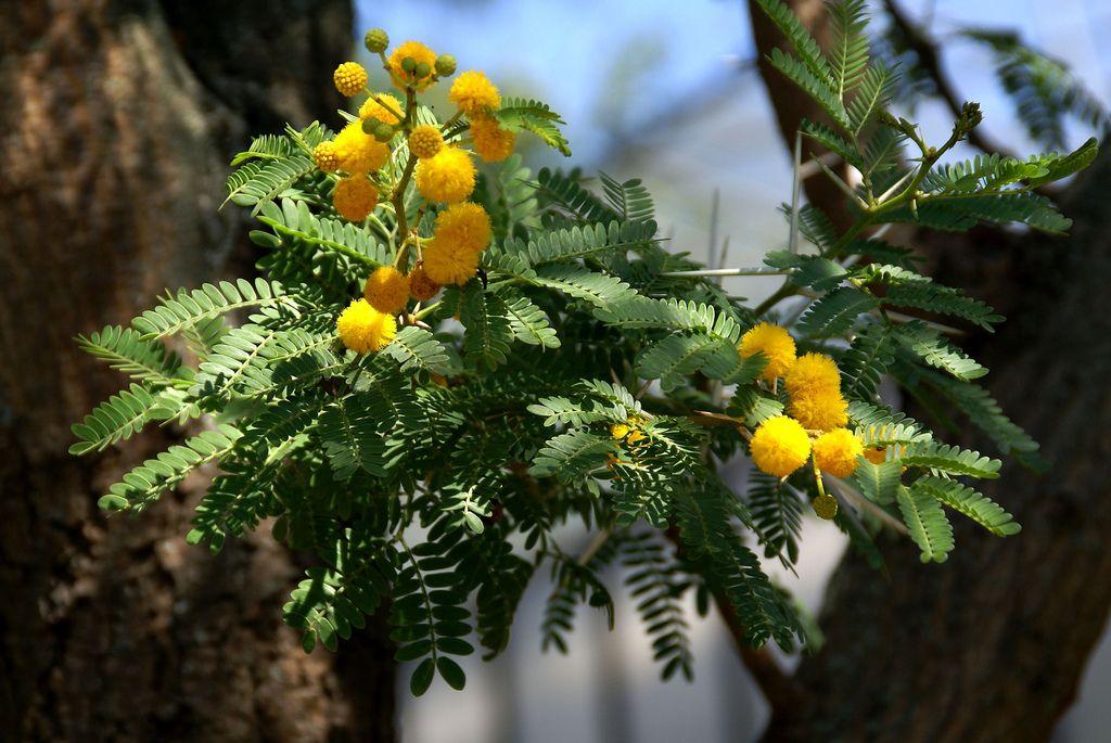 Acacia Karroo Presently Known As Vachellia Karroo Sweet Thorn Cape Karoo Mimosa Trees To Plant Plants Flora