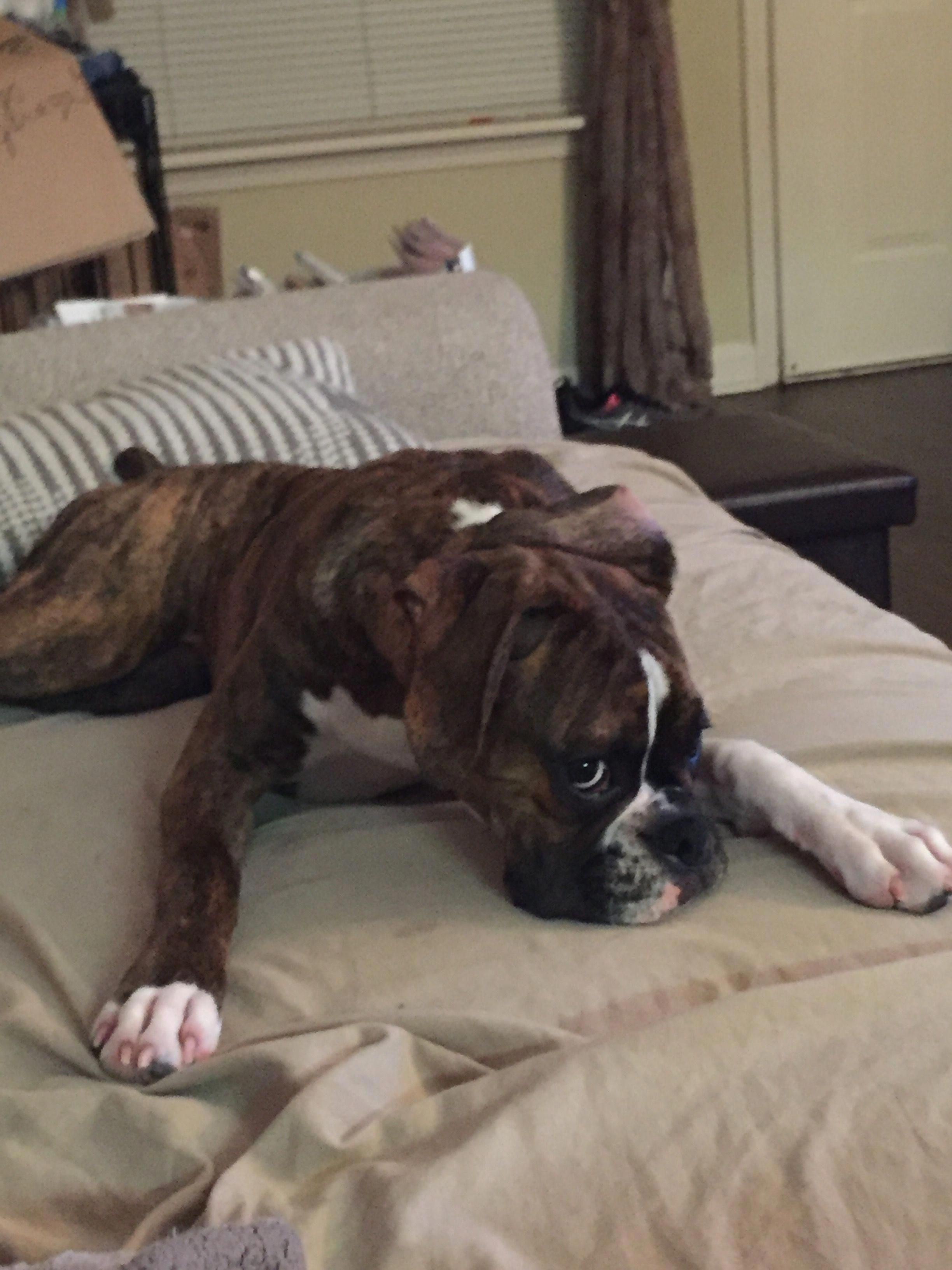 Get Great Tips On Boxer Dogs They Are On Call For You On Our Web Site With Images Boxer Dogs Training Boxer Dogs Boxer Dogs Facts