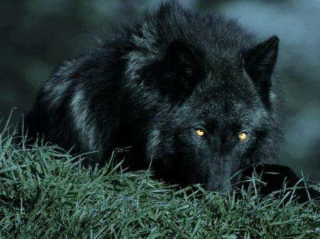 Black Wolf Yellow Eyes Wolf Dog Animals Black Wolf