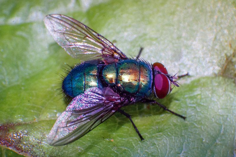 d170dc67b2f8624791fede40921c7386 - How To Get Rid Of Common Green Bottle Fly
