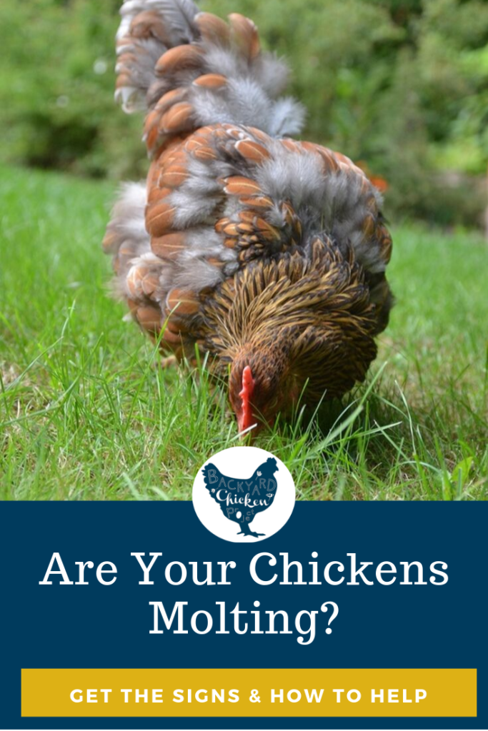 Are your Chickens Molting? How to tell and how to help ...