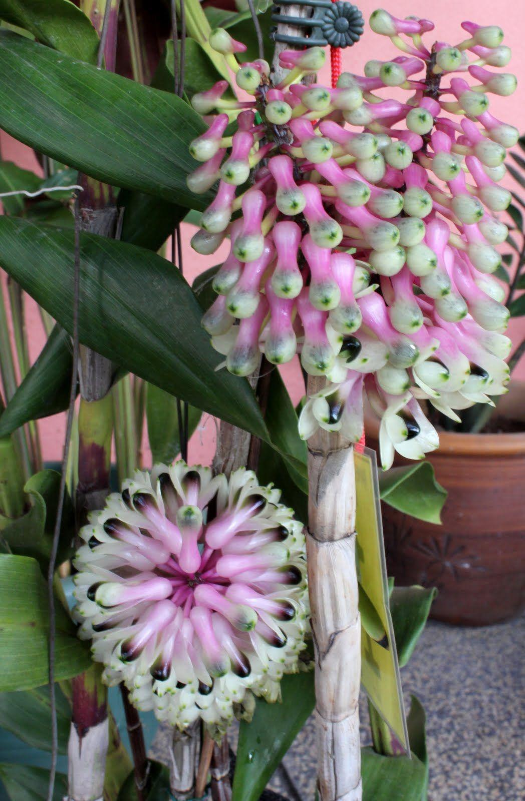 Rare Orchid Species Keiki Seedling Dendrobium Similae Orquideas Raras Orquideas Plantae
