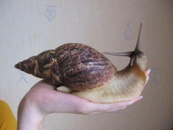 pin by victoria kaplan on snails pinterest giant snail, africanafrican snail, apple snail, giant snail, pet snails, unique animals, animals
