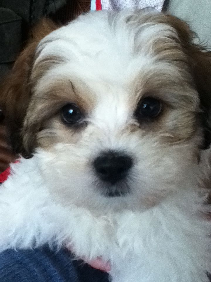 Buy Teddy Bear Puppies For Sale In Maine