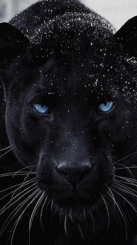 Tan Bonita Cono Esta Panteraza In 2020 Wild Animals Photos Wild Animal Wallpaper Jaguar Animal