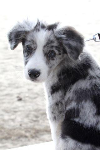 Maiko Chiot Border Collie Border Collie Puppies Collie Puppies Border Collie Blue Merle