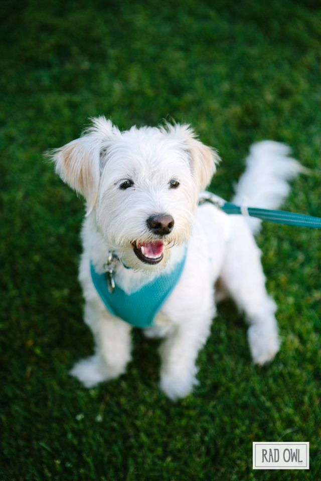 albert the doggie | westie jack russell terrier mix | rescue