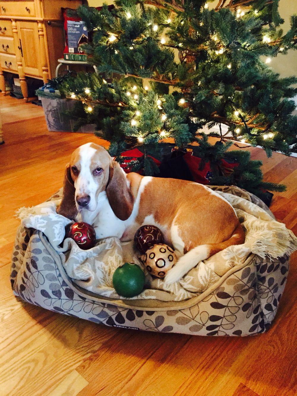 Christmas card! | Basset hounds | Pinterest | Basset hound, Bassett ...