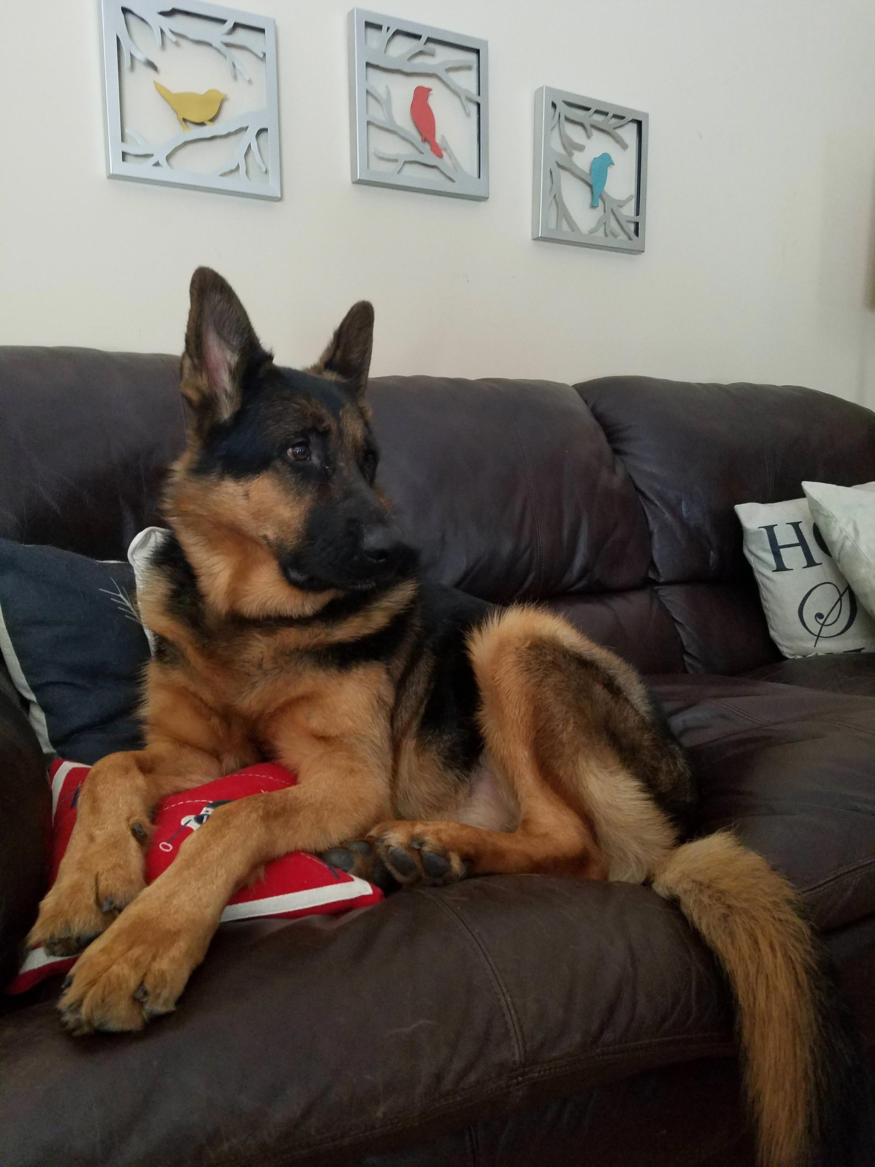Auggie The Most Handsome Navy Gsd Alsatiandogs Germanshepherd Schaferhunde Deutscher Schaferhund Hunde