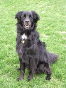 Dog Profile For Hayle A Female Flat Coated Retriever Border Collie Black Dog Cute Dogs Flat Coated Retriever
